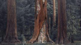 Render Ster: Kansen voor afstervende sequoias